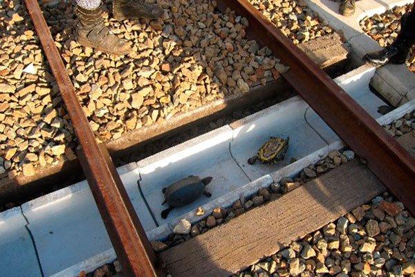 tuneles-para-tortugas-ferrocarriles-japon-2