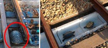 Construyen túneles en los ferrocarriles de Japón para que las tortugas crucen sin peligro.