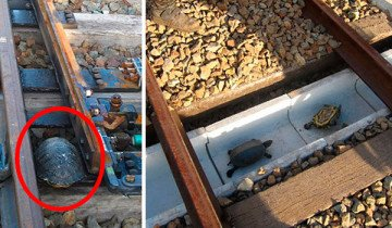 Túneles de ferrocarriles para tortugas